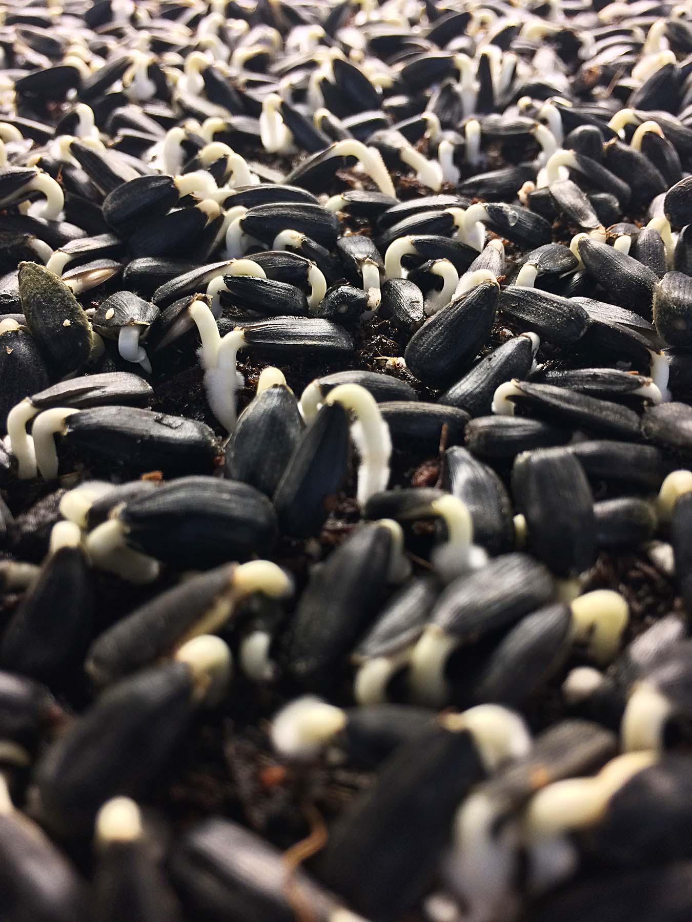 comment produire des micro-pousses
