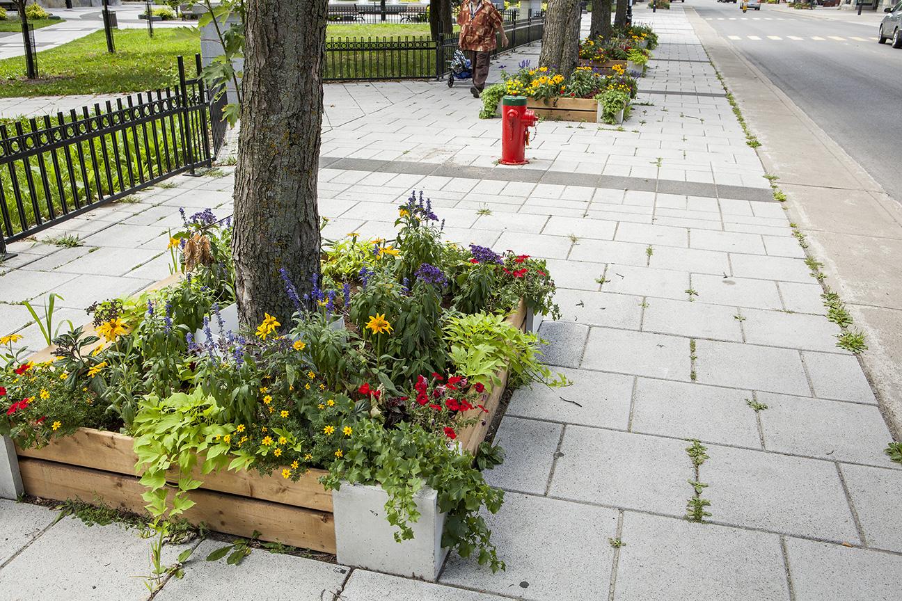 Les carrés d'arbre sur la rue Sainte-Catherine dans Hochelaga-Maisonneuve.